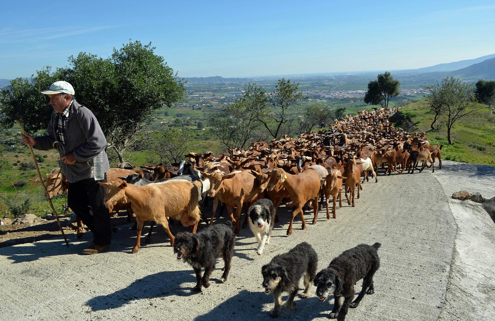 Nederlandse / Belgische makelaar in Cártama Goats being led to pasture